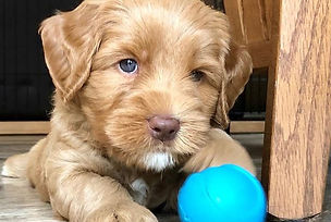 cute-puppy-michigan-australian-labradood