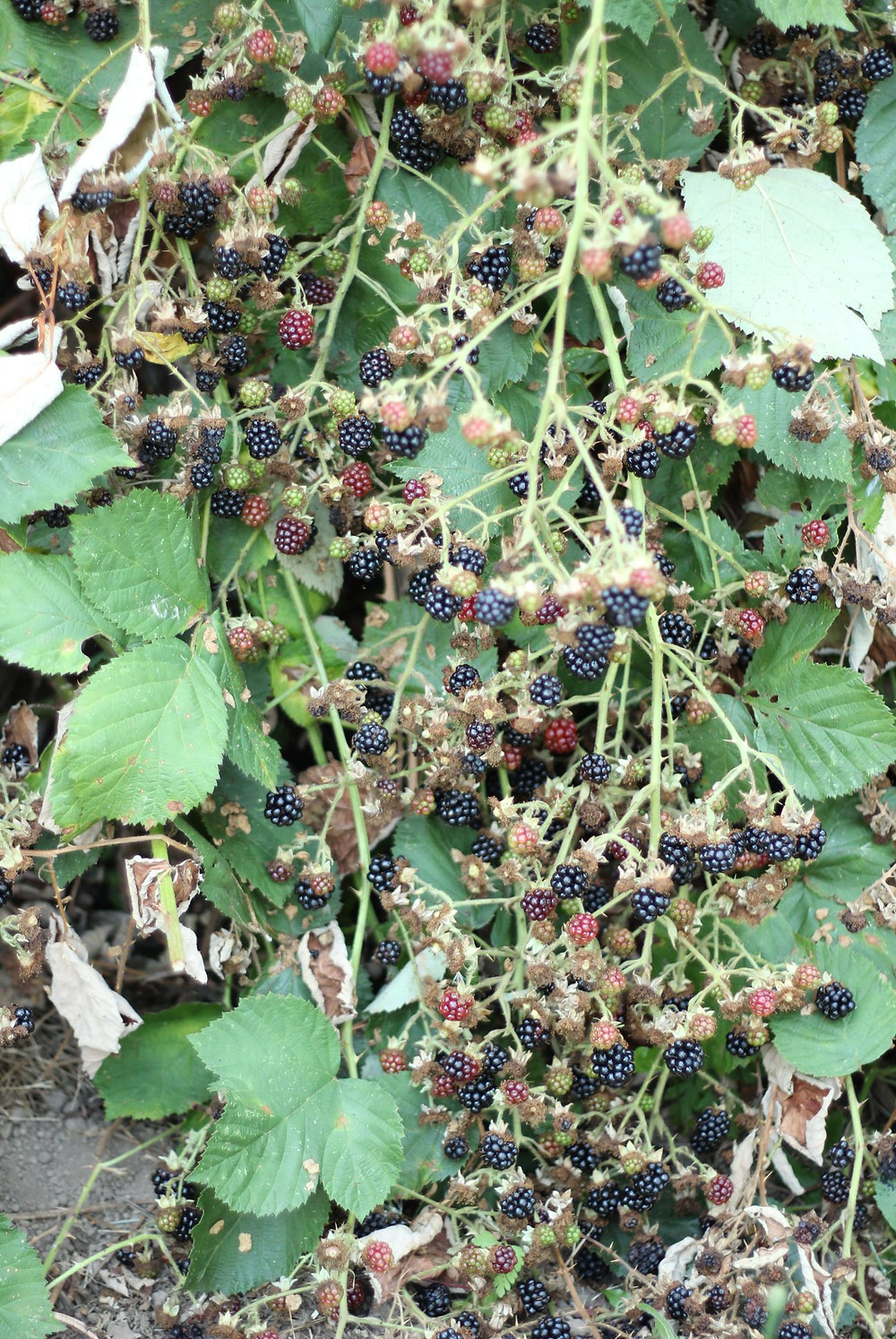 wild blackberries bushes