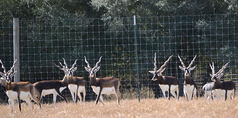 Mature blackbuck antelope group at RBL Farm in Weimar, Texas