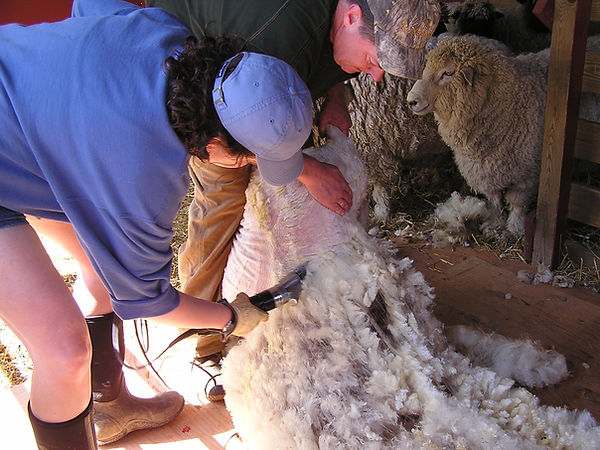 Ten Good Sheep S Raw Wool Fleece Washing And Scouring