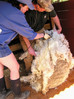 Shearing Day - Dances With Wool
