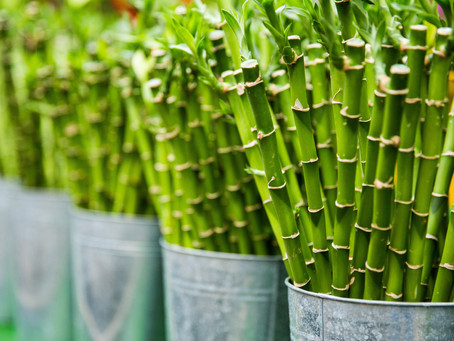 O Bambu e o Futuro