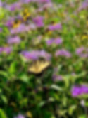 KNP summer butterfly bee balm.jpg