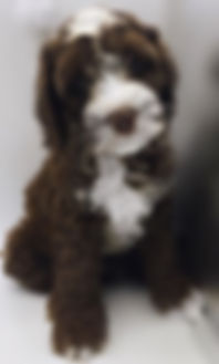 Australain Labradoodle Puppy