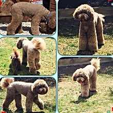 Churchillls Australian Labradoodles Essex
