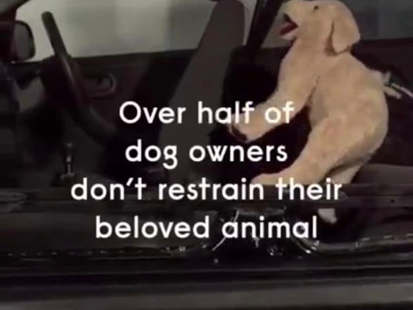 Is your Australian Labradoodle Safe in your car ?