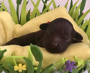 Australian Labradoodles