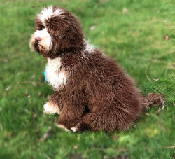 Australian Labradoodles for Sale