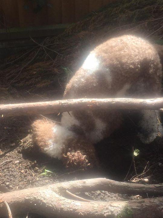 Churchills Australian Labradoodles,