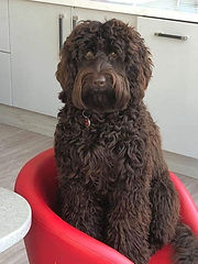 Churchills Australian Labradoodles Essex