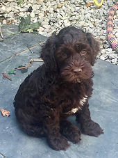 |Australian Labradoodle puppy