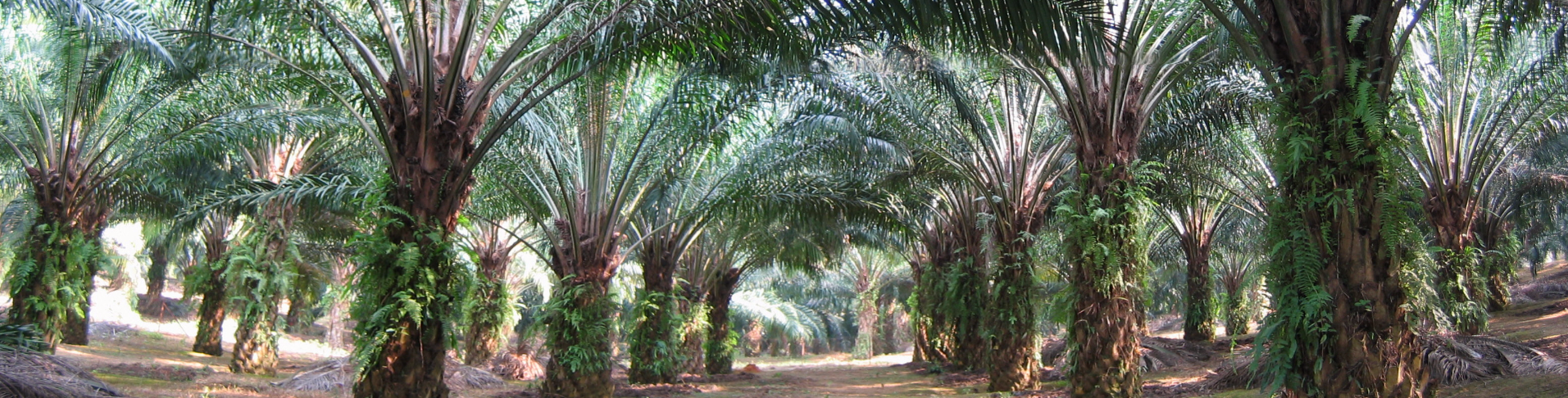 Oil-Palm-Trees_edited_edited.jpg