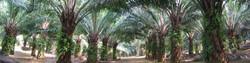 Oil-Palm-Trees_edited_edited.jpg