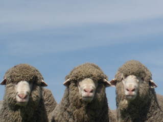 Rams are ready for sale!