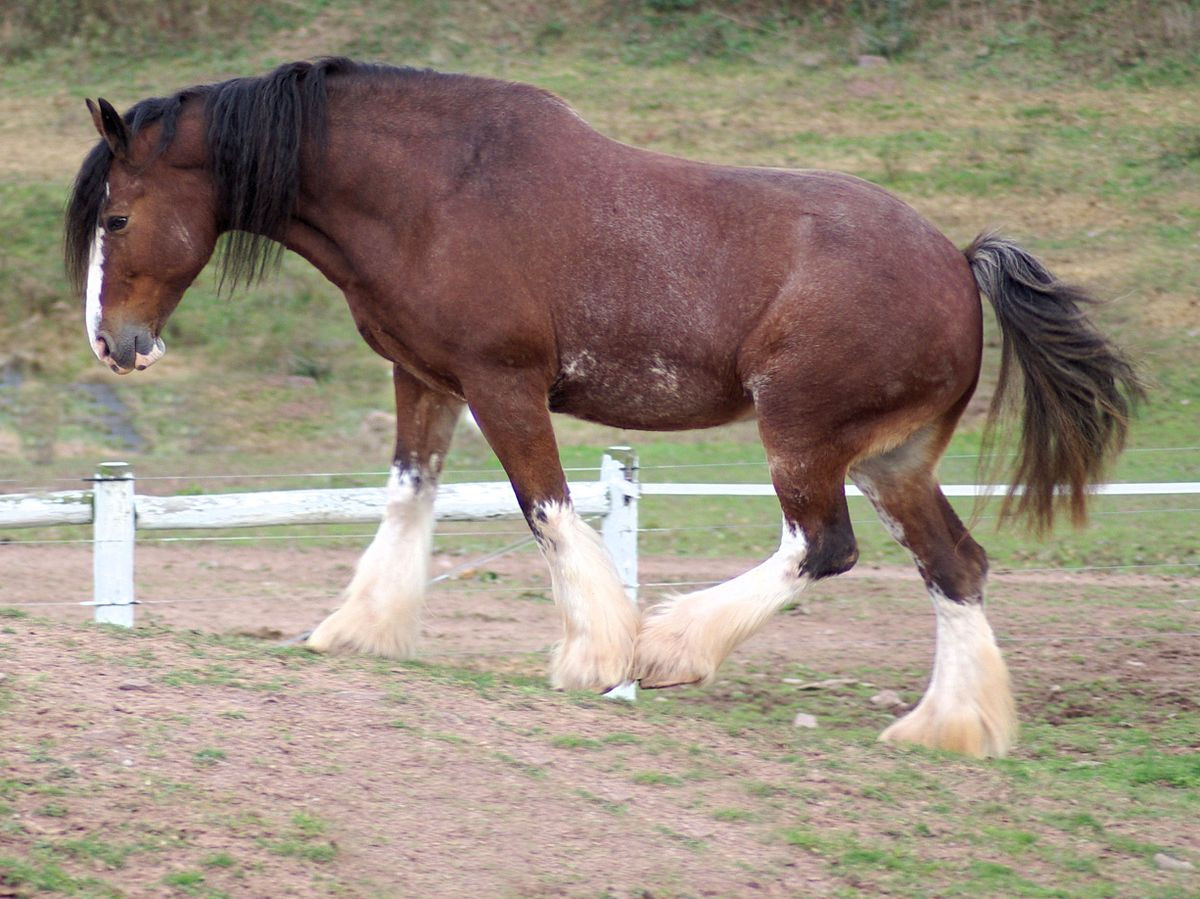 Darkie was a black clydesdale. Barnie was brown.