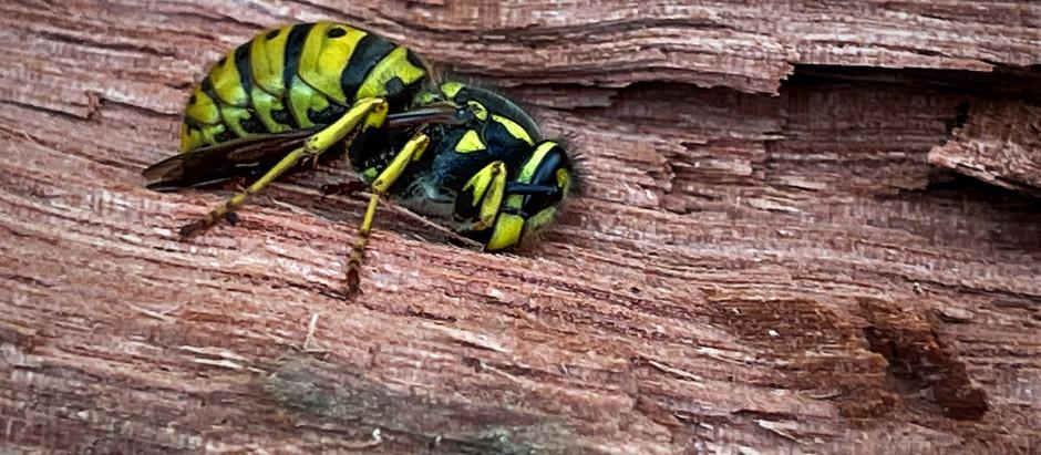 495. Wasp watch