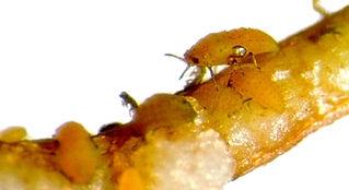 phylloxera-louse.jpg