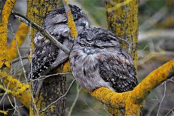 3-eyed owl sighted.jpg