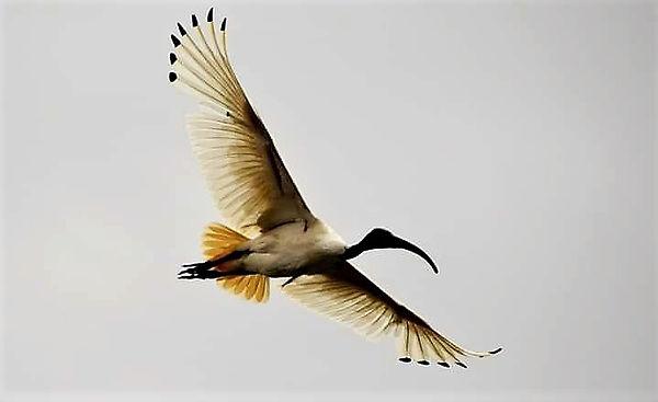 Ivan the Ibis in flight over the Monier