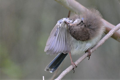 Fairy wren baby - male 2.jpg