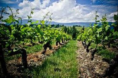 Swiss vinyard.jpg