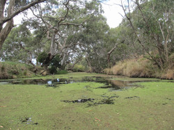 Azolla carpeting the surface of the river near the Moorabool River Reserve