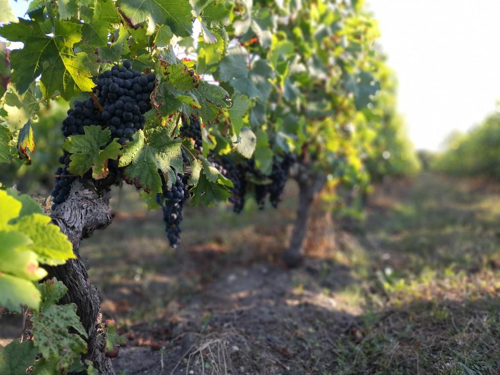 Pieds de vigne