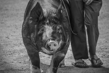 NY State Fair Swine