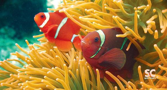 Clown Fish - BT8040
