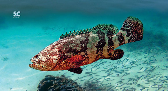 Grouper - MT5045