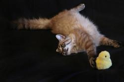 chat croisé siamois gouttière