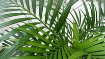 Palmeira de Jardim - Chrysalidocarpus Lu