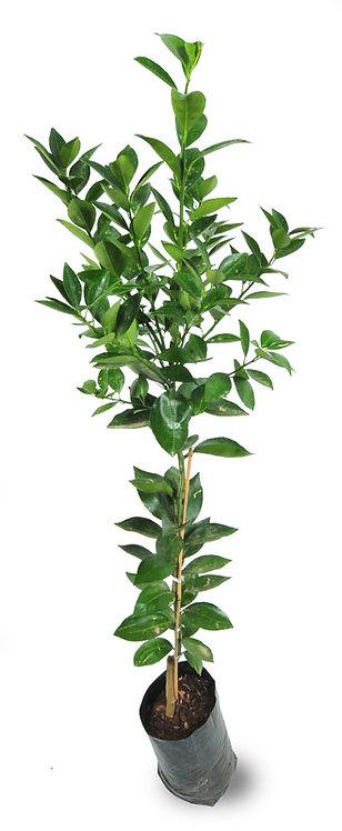 עץ תפוז וושינגטון (טבורי) 10 ל'
