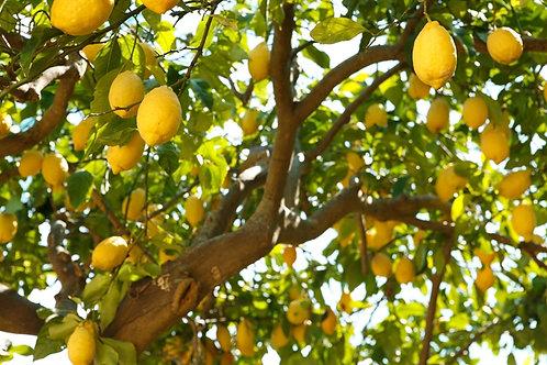 עץ לימון שתיל גדול 50 ל'