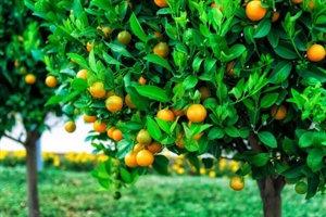 עץ תפוז פרנסוואי 25 ל'