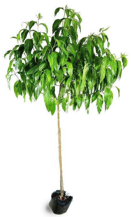 עץ קתרוסית 25 ל'