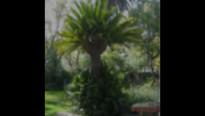 Sago Palms (Cycas revoluta) in the Juras