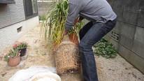 How to repot Beaucarnea recurvata (1_8)