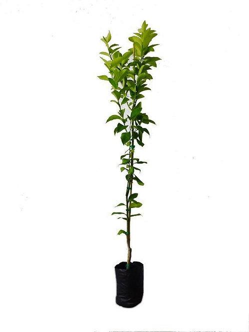 עץ פומלו אדום 10 ל'