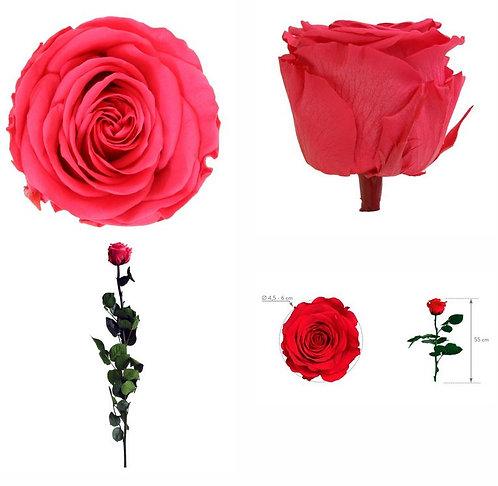 1 Rose à tige Standard fuschia 55cm