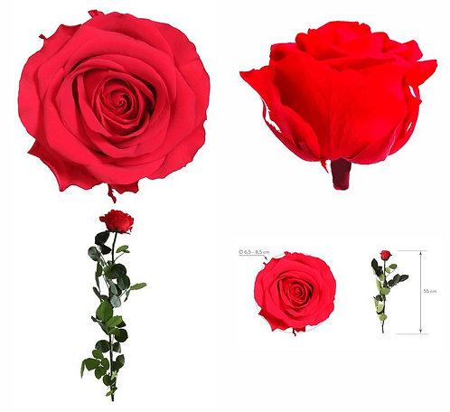 Rose à tige Premium Rouge