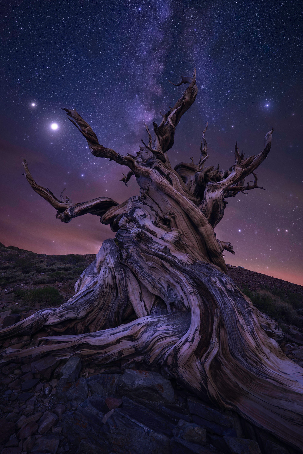 Ancient Bristlecone Pine Tree with Milky Way