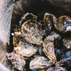 130192 Oysters, Bruny Island, TAS
