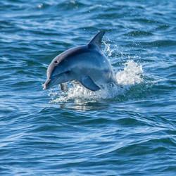 131451 Dolphin, Kangaroo Island, SA