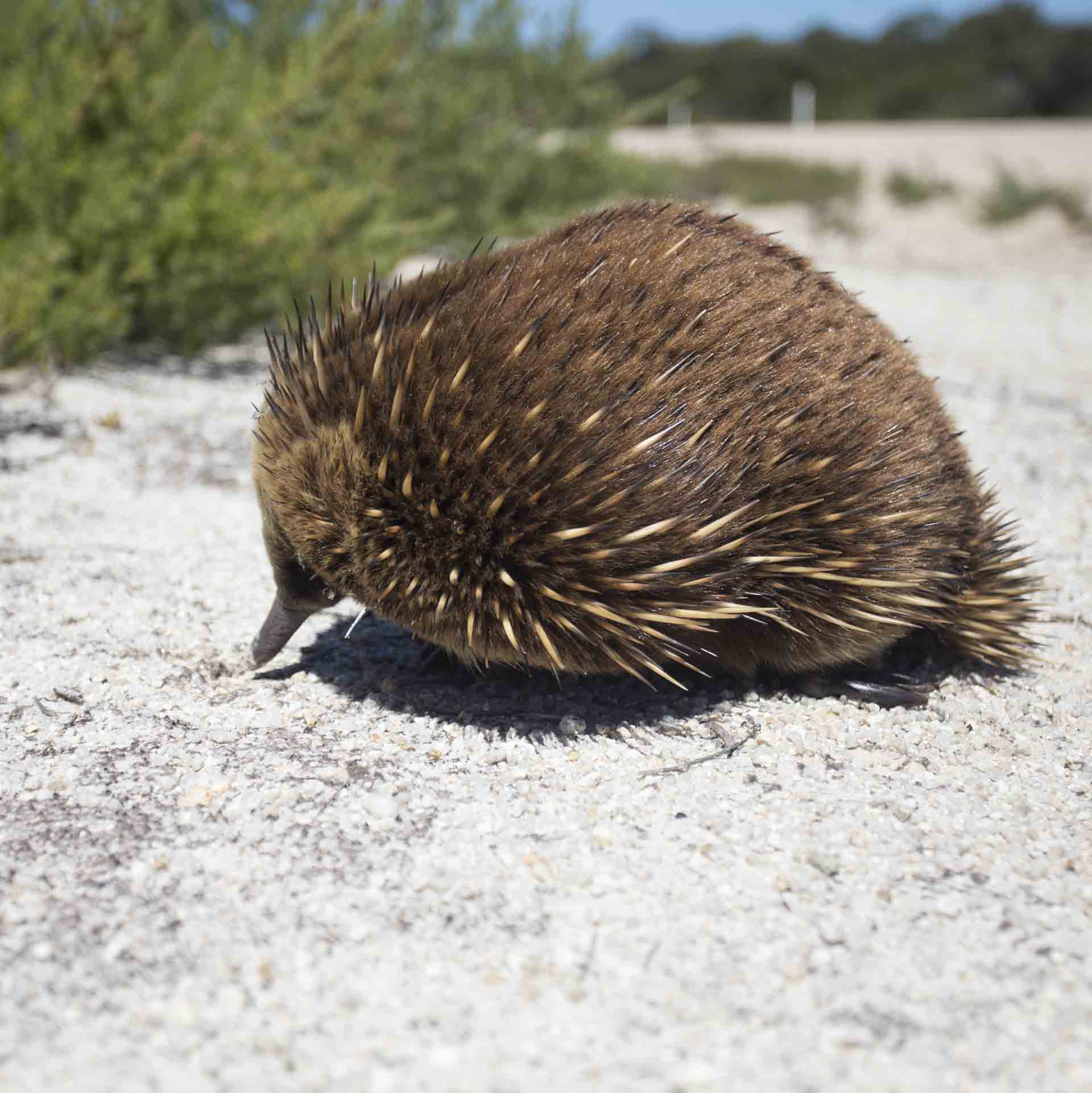 133198 Echidna, Flinders Island, TAS