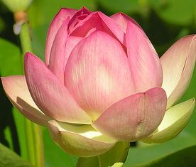 Lotus%204%20x%206_edited.jpg