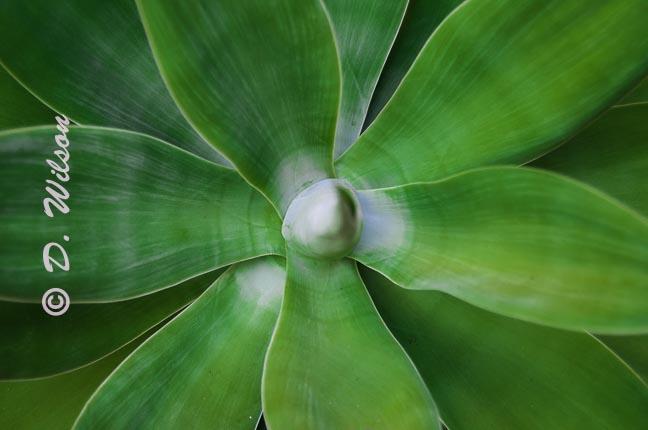 Barbados Aloe