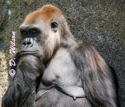 Gorilla - I'm Thinkig About It