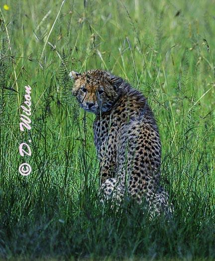 Young Cheetah - Kenya, Africa