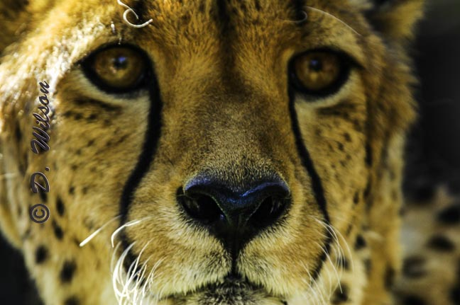 Cheetah - Up Close